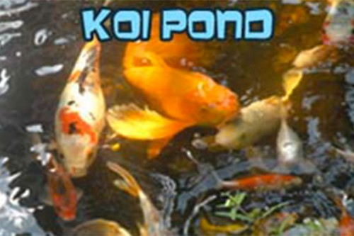 Koi swimming in a pond
